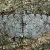 Mažasis žievėsprindis - Aethalura punctulata | Fotografijos autorius : Žilvinas Pūtys | © Macrogamta.lt | Šis tinklapis priklauso bendruomenei kuri domisi makro fotografija ir fotografuoja gyvąjį makro pasaulį.