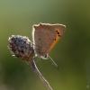 Mažasis auksinukas - Lycaena phlaeas  | Fotografijos autorius : Eglė Vičiuvienė | © Macrogamta.lt | Šis tinklapis priklauso bendruomenei kuri domisi makro fotografija ir fotografuoja gyvąjį makro pasaulį.