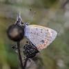 Mažasis auksinukas - Lycaena phlaeas | Fotografijos autorius : Kazimieras Martinaitis | © Macrogamta.lt | Šis tinklapis priklauso bendruomenei kuri domisi makro fotografija ir fotografuoja gyvąjį makro pasaulį.