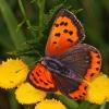 Mažasis auksinukas - Lycaena phlaeas | Fotografijos autorius : Gintautas Steiblys | © Macrogamta.lt | Šis tinklapis priklauso bendruomenei kuri domisi makro fotografija ir fotografuoja gyvąjį makro pasaulį.