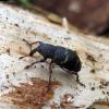 Mažasis pušinis straubliukas - Hylobius pinastri | Fotografijos autorius : Vitalii Alekseev | © Macrogamta.lt | Šis tinklapis priklauso bendruomenei kuri domisi makro fotografija ir fotografuoja gyvąjį makro pasaulį.