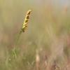 Mažasis varpenis - Botrychium simplex | Fotografijos autorius : Zita Gasiūnaitė | © Macrogamta.lt | Šis tinklapis priklauso bendruomenei kuri domisi makro fotografija ir fotografuoja gyvąjį makro pasaulį.