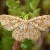 Mažoji geltonoji cidarija - Hydrelia flammeolaria | Fotografijos autorius : Žilvinas Pūtys | © Macrogamta.lt | Šis tinklapis priklauso bendruomenei kuri domisi makro fotografija ir fotografuoja gyvąjį makro pasaulį.