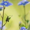Mažoji ilgaūsė makštinė kandis - Cauchas fibulella    Fotografijos autorius : Eglė Vičiuvienė   © Macrogamta.lt   Šis tinklapis priklauso bendruomenei kuri domisi makro fotografija ir fotografuoja gyvąjį makro pasaulį.