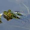 Mažoji kūdrinė varlė - Pelophylax lessonae | Fotografijos autorius : Gintautas Steiblys | © Macrogamta.lt | Šis tinklapis priklauso bendruomenei kuri domisi makro fotografija ir fotografuoja gyvąjį makro pasaulį.