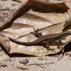 Mabuja - Eutropis rudis | Fotografijos autorius : Žilvinas Pūtys | © Macrogamta.lt | Šis tinklapis priklauso bendruomenei kuri domisi makro fotografija ir fotografuoja gyvąjį makro pasaulį.