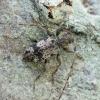 Margūnas - Leiopus femoratus | Fotografijos autorius : Vidas Brazauskas | © Macrogamta.lt | Šis tinklapis priklauso bendruomenei kuri domisi makro fotografija ir fotografuoja gyvąjį makro pasaulį.