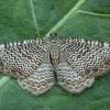 Margajuostis sprindžius - Hydria undulata   Fotografijos autorius : Žilvinas Pūtys   © Macrogamta.lt   Šis tinklapis priklauso bendruomenei kuri domisi makro fotografija ir fotografuoja gyvąjį makro pasaulį.