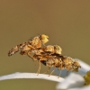 Margasparnė - Oxyna flavipennis | Fotografijos autorius : Agnė Našlėnienė | © Macrogamta.lt | Šis tinklapis priklauso bendruomenei kuri domisi makro fotografija ir fotografuoja gyvąjį makro pasaulį.