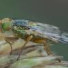 Margasparnė - Terellia colon | Fotografijos autorius : Žilvinas Pūtys | © Macrogamta.lt | Šis tinklapis priklauso bendruomenei kuri domisi makro fotografija ir fotografuoja gyvąjį makro pasaulį.