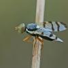 Margasparnė - Urophora solstitialis | Fotografijos autorius : Gintautas Steiblys | © Macrogamta.lt | Šis tinklapis priklauso bendruomenei kuri domisi makro fotografija ir fotografuoja gyvąjį makro pasaulį.