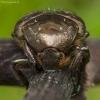 Marmurinis auksavabalis - Protaetia lugubris | Fotografijos autorius : Žilvinas Pūtys | © Macrogamta.lt | Šis tinklapis priklauso bendruomenei kuri domisi makro fotografija ir fotografuoja gyvąjį makro pasaulį.