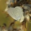 Cyaniris [=Polyommatus] semiargus - Pilkasis melsvys   Fotografijos autorius : Vidas Brazauskas   © Macrogamta.lt   Šis tinklapis priklauso bendruomenei kuri domisi makro fotografija ir fotografuoja gyvąjį makro pasaulį.