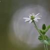 Miškinė žliūgė - Stellaria nemorum | Fotografijos autorius : Agnė Našlėnienė | © Macrogamta.lt | Šis tinklapis priklauso bendruomenei kuri domisi makro fotografija ir fotografuoja gyvąjį makro pasaulį.