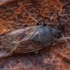 Miškinė dirvablakė - Drymus sylvaticus   Fotografijos autorius : Žilvinas Pūtys   © Macrogamta.lt   Šis tinklapis priklauso bendruomenei kuri domisi makro fotografija ir fotografuoja gyvąjį makro pasaulį.