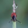 Miškinė erkė - Ixodes ricinus | Fotografijos autorius : Žilvinas Pūtys | © Macrogamta.lt | Šis tinklapis priklauso bendruomenei kuri domisi makro fotografija ir fotografuoja gyvąjį makro pasaulį.