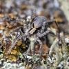 Miškinis dykrinukas - Xerolycosa nemoralis  | Fotografijos autorius : Kazimieras Martinaitis | © Macrogamta.lt | Šis tinklapis priklauso bendruomenei kuri domisi makro fotografija ir fotografuoja gyvąjį makro pasaulį.