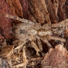 Miškinis gležnavoris - Anyphaena accentuata ♀ | Fotografijos autorius : Žilvinas Pūtys | © Macrogamta.lt | Šis tinklapis priklauso bendruomenei kuri domisi makro fotografija ir fotografuoja gyvąjį makro pasaulį.