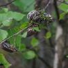 Miškinis grambuolys - Melolontha hippocastani | Fotografijos autorius : Romas Ferenca | © Macrogamta.lt | Šis tinklapis priklauso bendruomenei kuri domisi makro fotografija ir fotografuoja gyvąjį makro pasaulį.