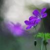 Miškinis snaputis - Geranium sylvaticum | Fotografijos autorius : Agnė Našlėnienė | © Macrogamta.lt | Šis tinklapis priklauso bendruomenei kuri domisi makro fotografija ir fotografuoja gyvąjį makro pasaulį.