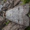 Miškinis vikinukas - Lygephila viciae | Fotografijos autorius : Žilvinas Pūtys | © Macrogamta.lt | Šis tinklapis priklauso bendruomenei kuri domisi makro fotografija ir fotografuoja gyvąjį makro pasaulį.