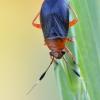 Miglinė žolblakė - Capsus ater | Fotografijos autorius : Arūnas Eismantas | © Macrogamta.lt | Šis tinklapis priklauso bendruomenei kuri domisi makro fotografija ir fotografuoja gyvąjį makro pasaulį.