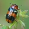Morkinis salierinukas - Coptocephala unifasciata   Fotografijos autorius : Gintautas Steiblys   © Macrogamta.lt   Šis tinklapis priklauso bendruomenei kuri domisi makro fotografija ir fotografuoja gyvąjį makro pasaulį.
