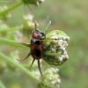 Morkinis salierinukas - Coptocephala unifasciata   Fotografijos autorius : Vitalii Alekseev   © Macrogamta.lt   Šis tinklapis priklauso bendruomenei kuri domisi makro fotografija ir fotografuoja gyvąjį makro pasaulį.