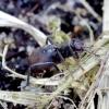 Musė - Crumomyia pedestris   Fotografijos autorius : Romas Ferenca   © Macrogamta.lt   Šis tinklapis priklauso bendruomenei kuri domisi makro fotografija ir fotografuoja gyvąjį makro pasaulį.