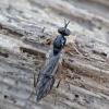 Musė - Xylophagus ater ♂ | Fotografijos autorius : Romas Ferenca | © Macrogamta.lt | Šis tinklapis priklauso bendruomenei kuri domisi makro fotografija ir fotografuoja gyvąjį makro pasaulį.