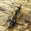Musė - Xylophagus ater ♀ | Fotografijos autorius : Romas Ferenca | © Macrogamta.lt | Šis tinklapis priklauso bendruomenei kuri domisi makro fotografija ir fotografuoja gyvąjį makro pasaulį.