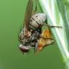Tigrinė cenozija - Coenosia tigrina | Fotografijos autorius : Vidas Brazauskas | © Macrogamta.lt | Šis tinklapis priklauso bendruomenei kuri domisi makro fotografija ir fotografuoja gyvąjį makro pasaulį.