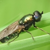 Plokščiamusė - Chloromyia formosa | Fotografijos autorius : Vidas Brazauskas | © Macrogamta.lt | Šis tinklapis priklauso bendruomenei kuri domisi makro fotografija ir fotografuoja gyvąjį makro pasaulį.
