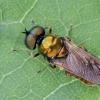 Plokščiamusė | Chloromyia formosa | Fotografijos autorius : Darius Baužys | © Macrogamta.lt | Šis tinklapis priklauso bendruomenei kuri domisi makro fotografija ir fotografuoja gyvąjį makro pasaulį.