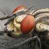 Musė | Fotografijos autorius : Vidas Brazauskas | © Macrogamta.lt | Šis tinklapis priklauso bendruomenei kuri domisi makro fotografija ir fotografuoja gyvąjį makro pasaulį.