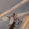 Ilgakojė muselė - Campsicnemus cf scambus | Fotografijos autorius : Gintautas Steiblys | © Macrogamta.lt | Šis tinklapis priklauso bendruomenei kuri domisi makro fotografija ir fotografuoja gyvąjį makro pasaulį.