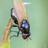 Girinukė - Calliopum elisae | Fotografijos autorius : Darius Baužys | © Macrogamta.lt | Šis tinklapis priklauso bendruomenei kuri domisi makro fotografija ir fotografuoja gyvąjį makro pasaulį.
