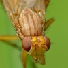 Sraigžudė - Tetanocera sp. | Fotografijos autorius : Vidas Brazauskas | © Macrogamta.lt | Šis tinklapis priklauso bendruomenei kuri domisi makro fotografija ir fotografuoja gyvąjį makro pasaulį.