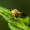 Margasparnė - Oxyna flavipennis | Fotografijos autorius : Irenėjas Urbonavičius | © Macrogamta.lt | Šis tinklapis priklauso bendruomenei kuri domisi makro fotografija ir fotografuoja gyvąjį makro pasaulį.