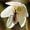 Snapmusė - Empididae | Fotografijos autorius : Ramunė Vakarė | © Macrogamta.lt | Šis tinklapis priklauso bendruomenei kuri domisi makro fotografija ir fotografuoja gyvąjį makro pasaulį.