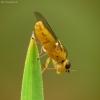 Javinė muselė - Chloropidae sp. | Fotografijos autorius : Vidas Brazauskas | © Macrogamta.lt | Šis tinklapis priklauso bendruomenei kuri domisi makro fotografija ir fotografuoja gyvąjį makro pasaulį.