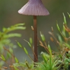 Šalmabudė - Mycena purpureofusca   Fotografijos autorius : Gintautas Steiblys   © Macrogamta.lt   Šis tinklapis priklauso bendruomenei kuri domisi makro fotografija ir fotografuoja gyvąjį makro pasaulį.