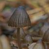 Aitriakvapė šalmabudė - Mycena leptocephala ?   Fotografijos autorius : Gintautas Steiblys   © Macrogamta.lt   Šis tinklapis priklauso bendruomenei kuri domisi makro fotografija ir fotografuoja gyvąjį makro pasaulį.