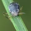 Sifoninis amaras - Aphididae | Fotografijos autorius : Vidas Brazauskas | © Macrogamta.lt | Šis tinklapis priklauso bendruomenei kuri domisi makro fotografija ir fotografuoja gyvąjį makro pasaulį.