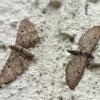 Eupithecia intricata | Fotografijos autorius : Vytautas Gluoksnis | © Macrogamta.lt | Šis tinklapis priklauso bendruomenei kuri domisi makro fotografija ir fotografuoja gyvąjį makro pasaulį.