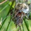 Nendrinis žnypliavoris - Larinoides cornutus | Fotografijos autorius : Oskaras Venckus | © Macrogamta.lt | Šis tinklapis priklauso bendruomenei kuri domisi makro fotografija ir fotografuoja gyvąjį makro pasaulį.