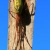 Nendrinis storažandis - Tetragnatha striata | Fotografijos autorius : Ramunė Vakarė | © Macrogamta.lt | Šis tinklapis priklauso bendruomenei kuri domisi makro fotografija ir fotografuoja gyvąjį makro pasaulį.
