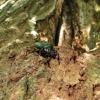 Niūraspalvis auksavabalis - Osmoderma barnabita | Fotografijos autorius : Vitalii Alekseev | © Macrogamta.lt | Šis tinklapis priklauso bendruomenei kuri domisi makro fotografija ir fotografuoja gyvąjį makro pasaulį.