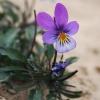 Pajūrinė našlaitė - Viola littoralis   Fotografijos autorius : Gintautas Steiblys   © Macrogamta.lt   Šis tinklapis priklauso bendruomenei kuri domisi makro fotografija ir fotografuoja gyvąjį makro pasaulį.