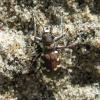 Cicindela hybrida | Fotografijos autorius : Vitalii Alekseev | © Macrogamta.lt | Šis tinklapis priklauso bendruomenei kuri domisi makro fotografija ir fotografuoja gyvąjį makro pasaulį.